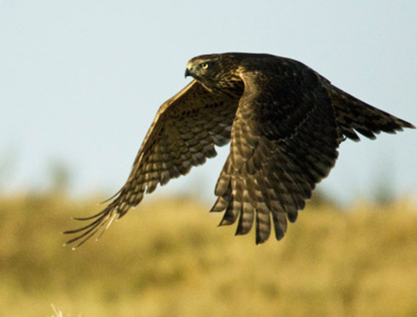 images/slideshow/astore accipiter gentilis.jpg